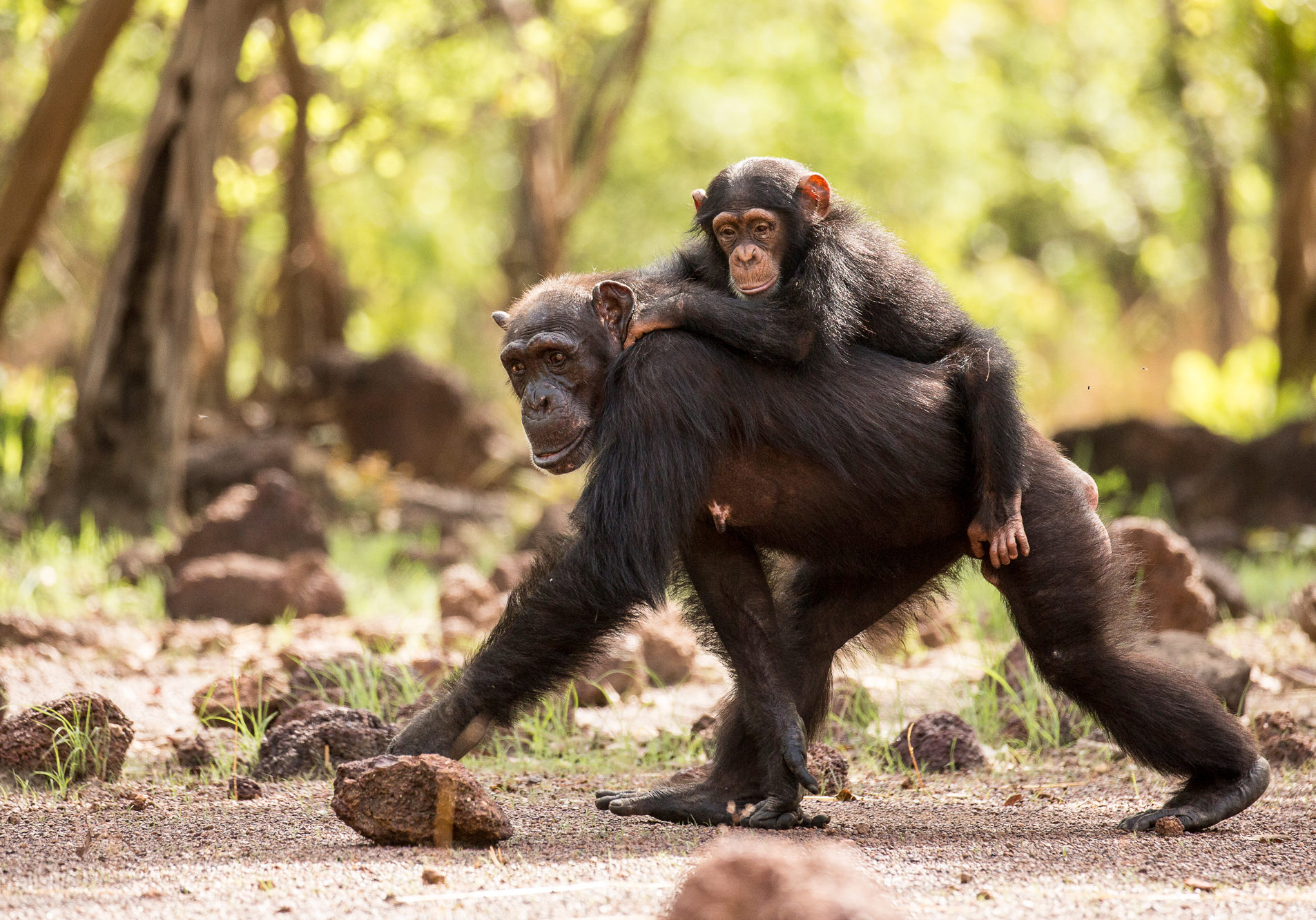Picture Shows: Female and baby.  There are 7 adult females in the group whom the 12 males compete over, but it's the alpha who normally succeeds.Senegal, West Africa Cleared for Brand use - Level A-B.